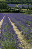 Lavender Fields in the Kent Countryside, England
