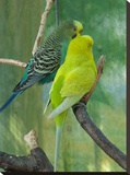 Budgie In The Nature
