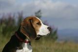 Beagle 66