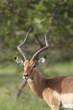 African Impala 12