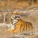 Male Tiger in Bandhavgarh National Park, India, Asia