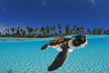 Baby green sea turtle swimming in a tropical paradise