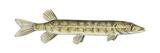 Grass Pickerel (Esox Americanus Vermiculatus), Fishes