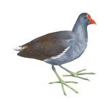 Florida Gallinule (Gallinula Chloropus), Birds