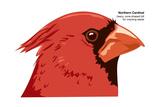 Northern Cardinal (Cardinalis Cardinalis), Birds