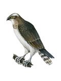 Osprey (Pandion Haliaetus), Fish Hawk, Birds