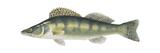 Pike-Perch (Sander Lucioperca), Fishes