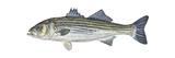 Striped Bass (Roccus Saxatilis), Fishes