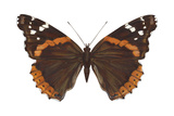 Red Admiral Butterfly (Vanessa Atalanta), Insects