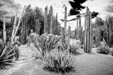 !Viva Mexico! B&W Collection - Cardon Cactus II