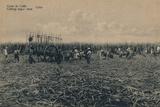 'Corte de Cana - Cutting sugar cane - Cuba', c1910 Valokuvavedos tekijänä Unknown,