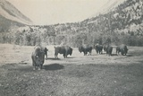 'Bison', 1916 Photographic Print by  Unknown