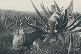 'Collecting Honey-Water from a Maguey', 1916 Photographic Print by  Unknown