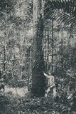 'Collecting Rubber', 1916 Photographic Print by  Unknown