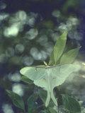 Luna Moth Clings to a Pond Side Chokecherry Tree Fotoprint van Alfred Eisenstaedt