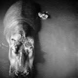 """Mother Hippo """"Bebe"""" and Her Daughter Lámina fotográfica por Mark Kauffman"""