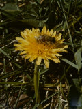 Bee in Flower Photographic Print by Eric Schaal