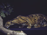 Rare Clouded Leopard Crouching near Tree, Asia Fotografisk tryk af Nina Leen