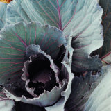 Close-Up of Pesticide-Free, Dew-Covered Cabbage Leaves with Worn Holes, Raised Organically Photographic Print by Co Rentmeester