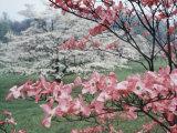Flowering Dogwood Fotografisk tryk af Henry Groskinsky