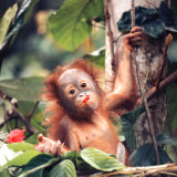 Orangutans in Captivity, Sandakan, Soabah, and Malasia, Town in Br. North Borneo Lámina fotográfica por Co Rentmeester