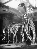 Skeletons of Dinosaurs Being Displayed at the American Museum of Natural History Stampa fotografica di Hansel Mieth