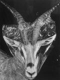 Robertsi Gazelle from Kenya Serengeti in Storage, American Museum of Natural History Fotoprint av Margaret Bourke-White