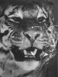 Siberian Tiger Covered in Storage at the American Museum of Natural History Fotoprint av Margaret Bourke-White