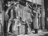 Two Museum Paleontologists Assembling Complete Styracosaurus, American Museum of Natural History Fotografie-Druck von Margaret Bourke-White