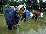 Women Planting Rice in Paddy, Kurobe, Toyama Prefecture Fotoprint van Ted Thai
