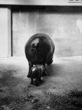 Baby Pygmy Hippo, Gumdrop, Following His Mother to Take a Nap Lámina fotográfica por George Skadding