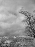 Two Little Lambs Playing in a Field Fotoprint van David Scherman