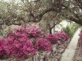 Pink Rhododendron Bushes at Chandor Gardens Fotografisk trykk av John Dominis