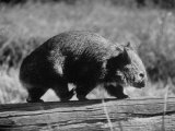 Wombat Walking on a Log Lámina fotográfica por John Dominis