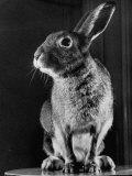 Horace the Irish Hare Fotografisk tryk af Carl Mydans