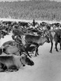 Group Shot of Reindeer Standing in Snow Photographic Print by Carl Mydans