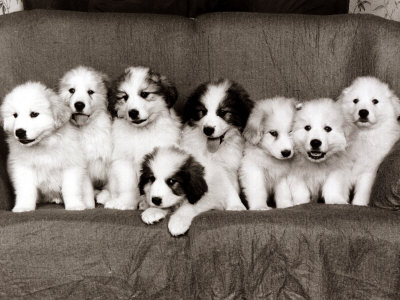 pyrenean mountain dog puppies january 1986 - Terminei o esquema de vacinas do meu filhote. Quando devo voltar ao veterinário?