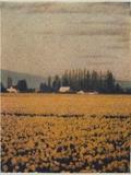Skagit Daffodils Photographic Print by Jennifer Kennard