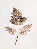 Fronds of Leaves Fotografisk tryk af William Henry Fox Talbot