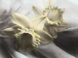 Narciso-amarelo Impressão fotográfica por Kim Koza