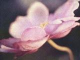 Japanese Anemone Blossom Photographic Print by Jennifer Kennard