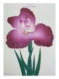Kyo-Kanoko Book of a Dark Pink Iris Gicléedruk van  Stapleton Collection