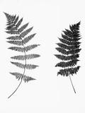 Photographic Study Of Fern Leaves Fotografie-Druck von  Bettmann