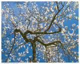 Almond Blossoms in Spring Prints