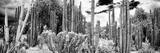 ¡Viva Mexico! Panoramic Collection - Cardon Cactus IV Reproduction photographique par Philippe Hugonnard
