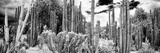¡Viva Mexico! Panoramic Collection - Cardon Cactus IV Fotografie-Druck von Philippe Hugonnard