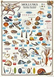 Mollusks Breeds Of The World (Italian) Poster