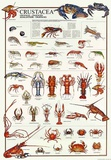 Breeds Of Crostacea (Italian) Poster