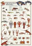 Breeds Of Crostacea (Italian) Pósters