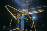 Japanese Giant Spider Crab (Macrocheira Kaempferi) World'S Largest Crustacean In Tokyo Aquarium Photographic Print by Jeff Rotman